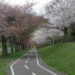 西野緑道の桜